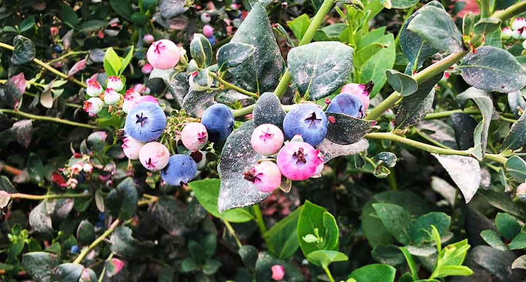 domiruthperutravel-itinerary-blueberries-ica